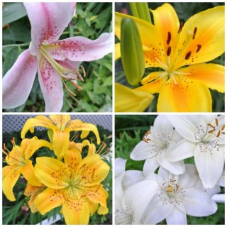 Birthday Lilies Wordless Wednesday