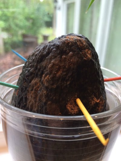 While this avocado didn't sprout, it did turn to mold!