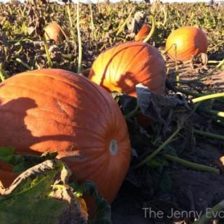 Pumpkin Patch | The Jenny Evolution