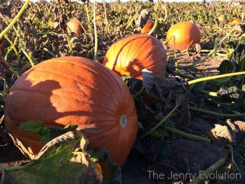 Pumpkin Patch | Mommy Evolution