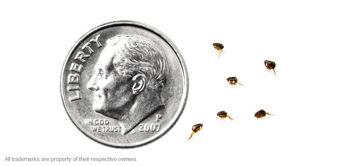 flea-size